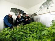 Police Cannabis seizure