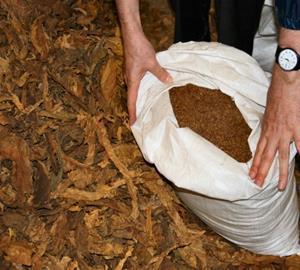 Unprocessed illicit tobacco